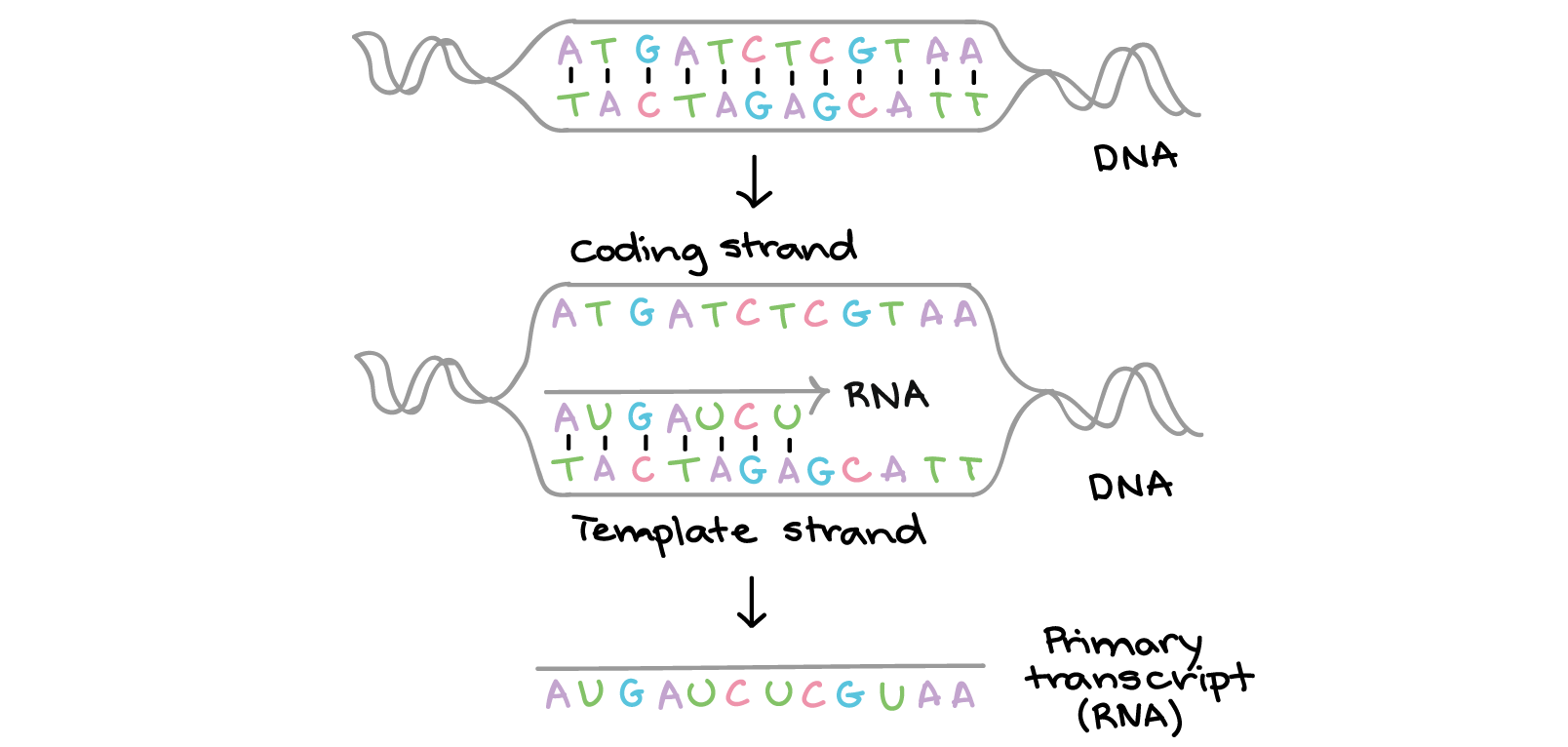 worksheet Dna Vs Rna Worksheet dna replication and rna transcription translation video khan academy
