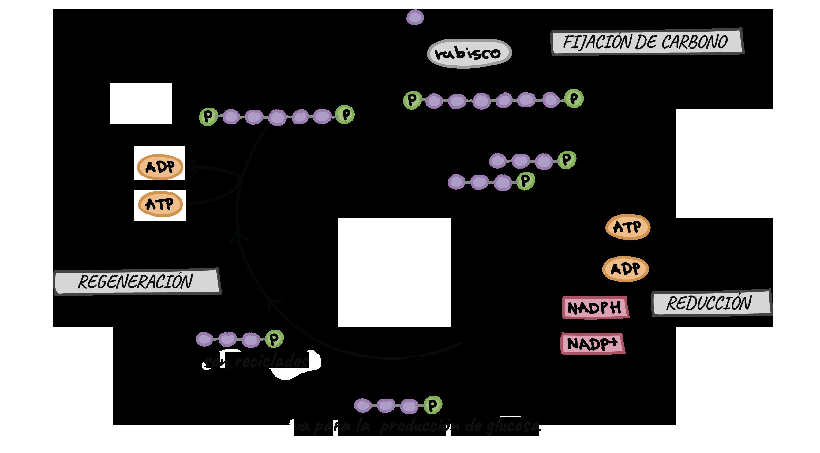 El ciclo de Calvin (artículo) | Fotosíntesis | Khan Academy