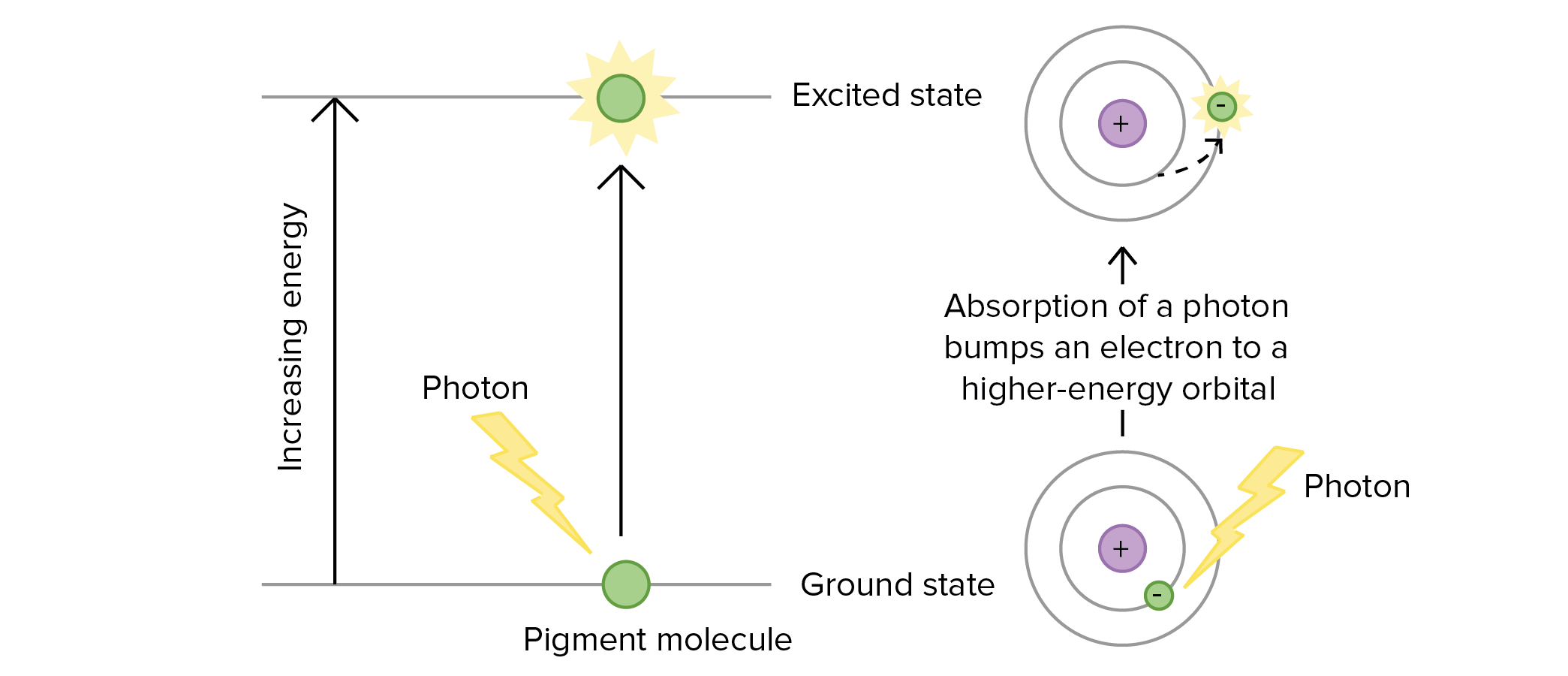 Photosynthesis: Overview of the light-dependent reactions (video) | Khan  Academy