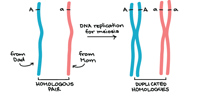 Genetic linkage mapping article khan academy homologous chromosomes are paired chromosomes that carry the same genes but may have different alleles of those genes one member of each homologous pair ccuart Image collections