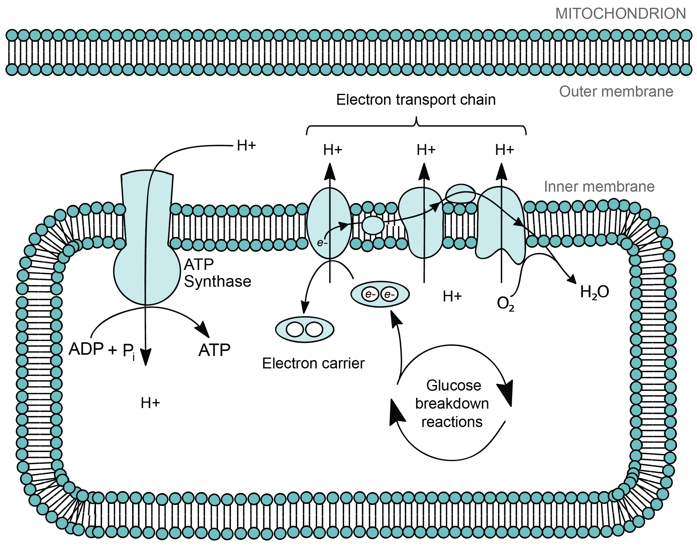 Mitochondria and chloroplasts article khan academy electrons from fuel molecules such as the sugar glucose are stripped off in reactions that take place in the cytosol and in the mitochondrial matrix ccuart Image collections