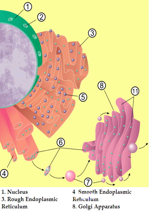 what happens when golgi apparatus is removed from the cell