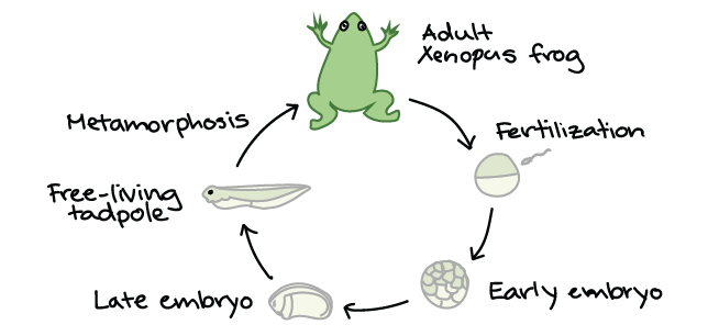 Frog Development Examples Article Khan Academy