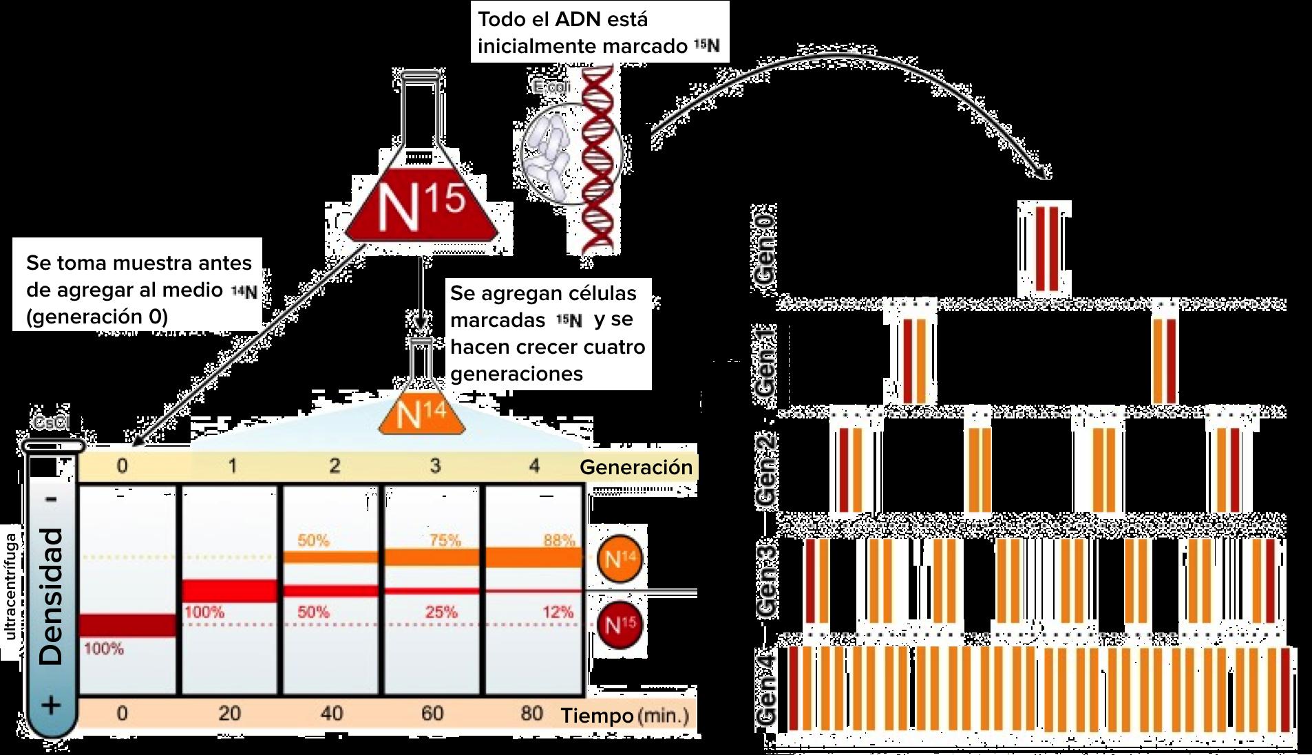 Resultado de imagen de experimento de meselson y stahl