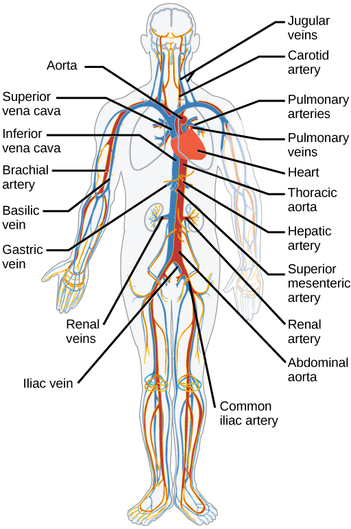 Circulatory system diagram of a man circuit connection diagram circulatory system and the heart video khan academy rh khanacademy org cardiovascular system diagram circulatory system diagram unlabeled ccuart Gallery
