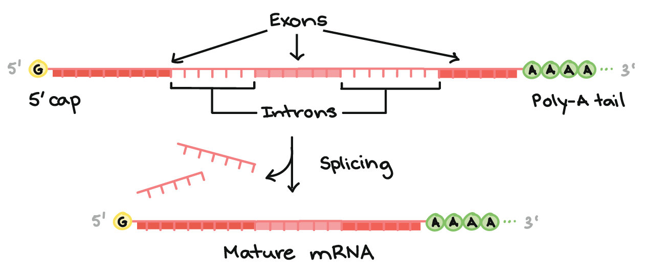 Overview Of Transcription Article  Khan Academy Top Of Image Diagram Of A Premrna With A  Cap And  Polya Tail The   Cap Is On The  End Of The Premrna And Is A Modified G Nucleotide