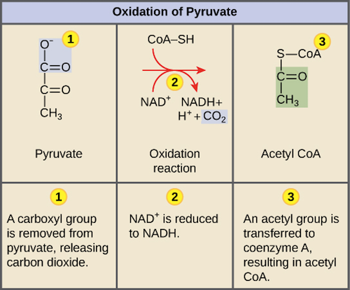 Pyruvate oxidation | Cellular respiration (article) | Khan Academy