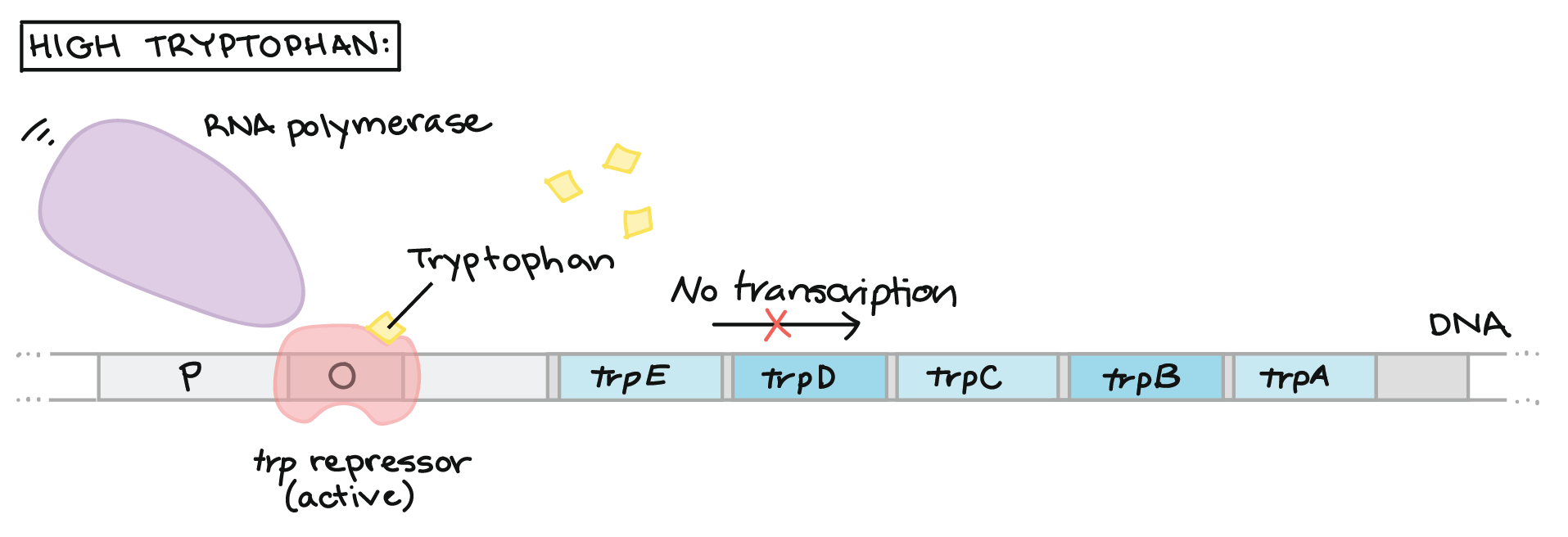 Trp operon (video) | Gene regulation | Khan Academy