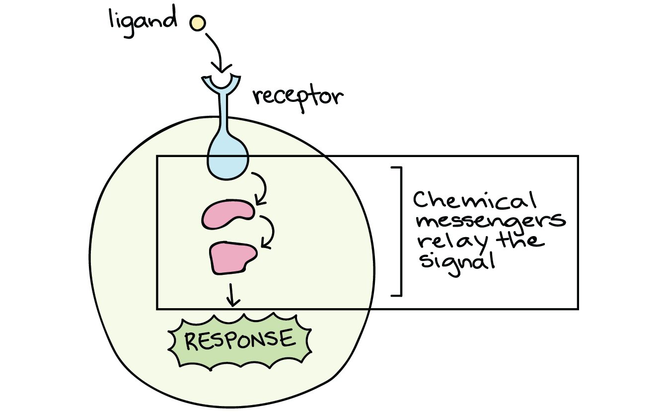 Signal Transduction Pathway Cell Signaling Article Khan Academy This Diagram Is Not A Schematic It Shows Flow Rather Than For Receptors Located On The Membrane Must Be Passed Through Other Molecules In Sort Of Cellular Game Telephone