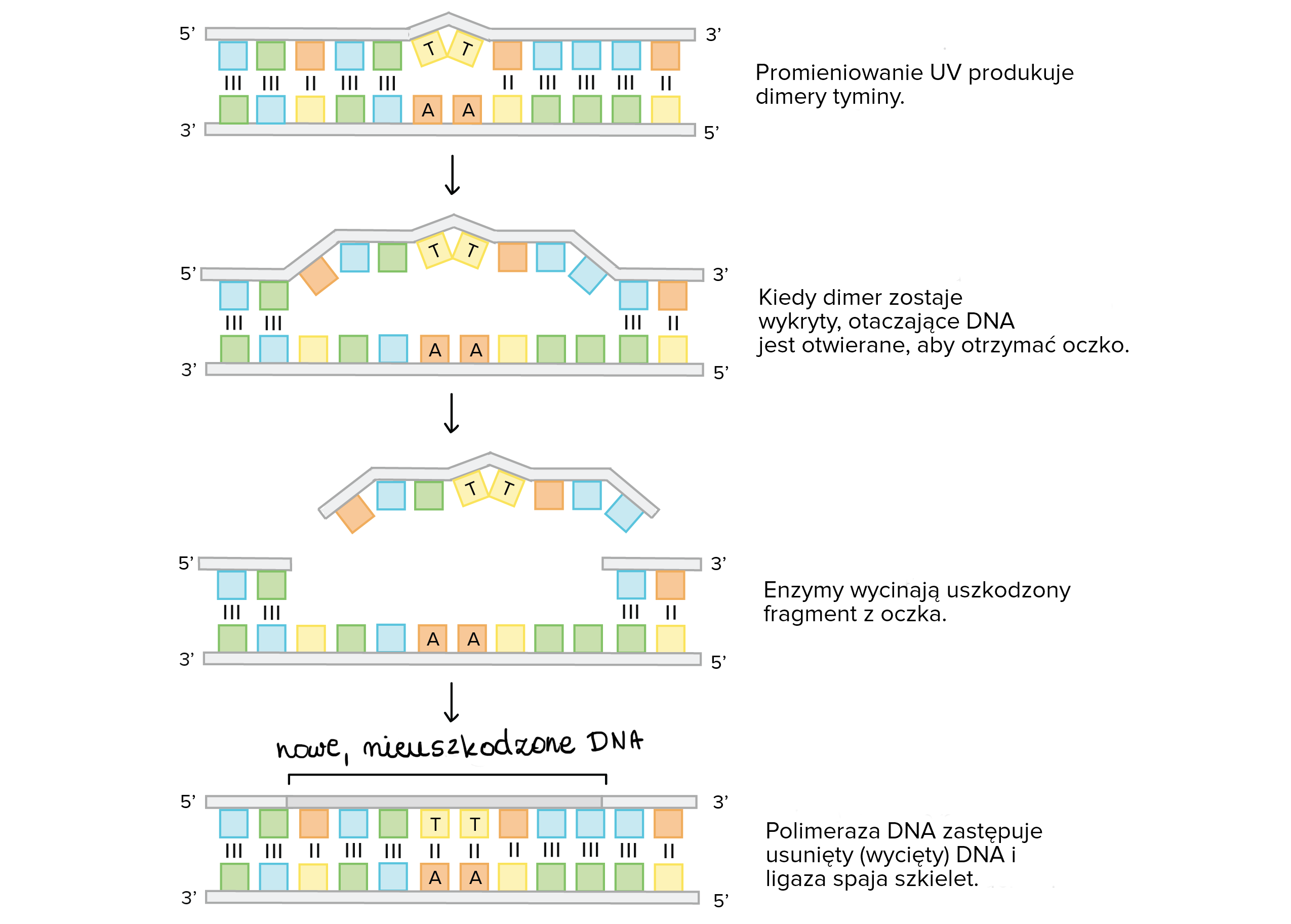 Leading and lagging strands in dna replication film khan academy ccuart Choice Image