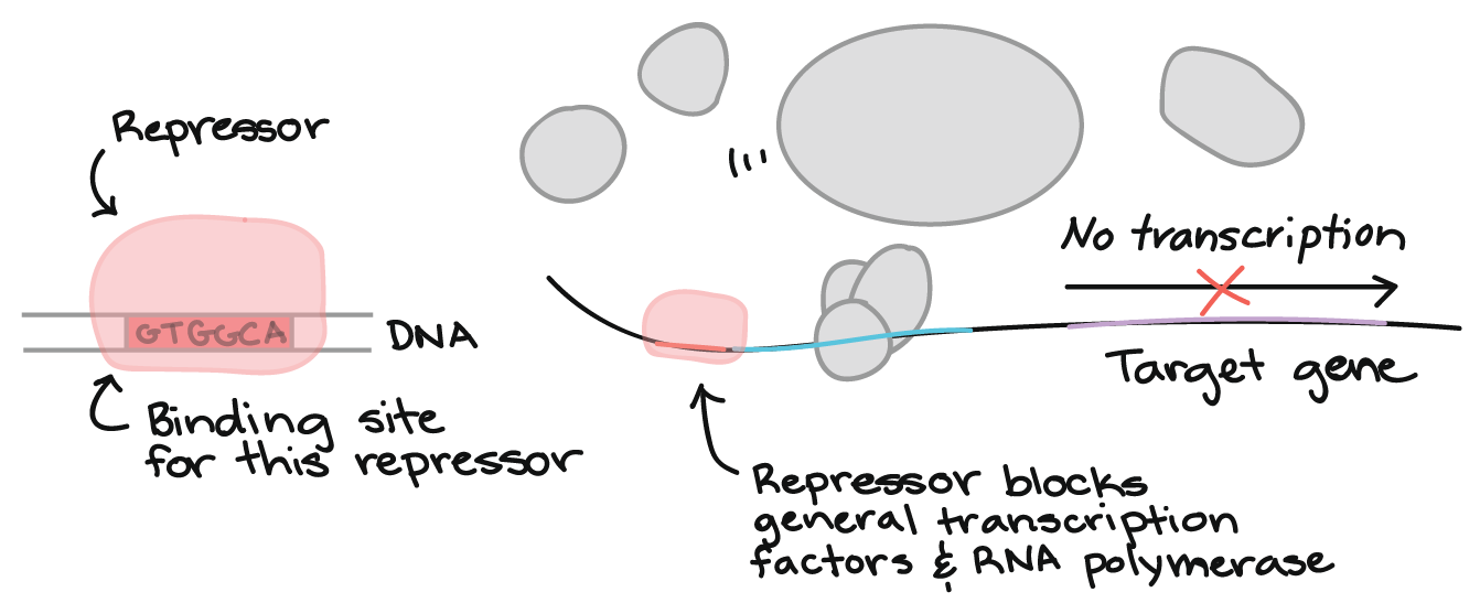 Image result for transcription factors