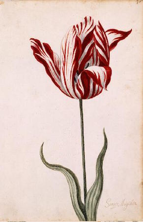 Great Tulip Book: Semper Augustus, 1600-1699, gouache on paper, 12-1/8 x 7-7/8 inches / 30.8 x 20.0 cm (Norton Simon Museum)
