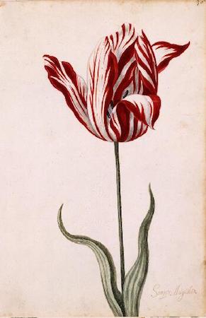 Great Tulip Book: Semper Augustus, 1600-1699, gouache on paper, 12-1/8 x 7-7/8 inches / 30.8 x 20.0 cm (Norton Simon Museum)