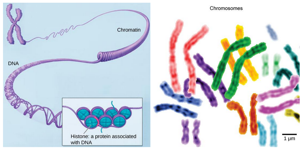 Nucleus and ribosomes article khan academy left image of a chromosome showing how it is made up of dna wound around histones and then arranged in loops and other higher order structures ccuart Gallery