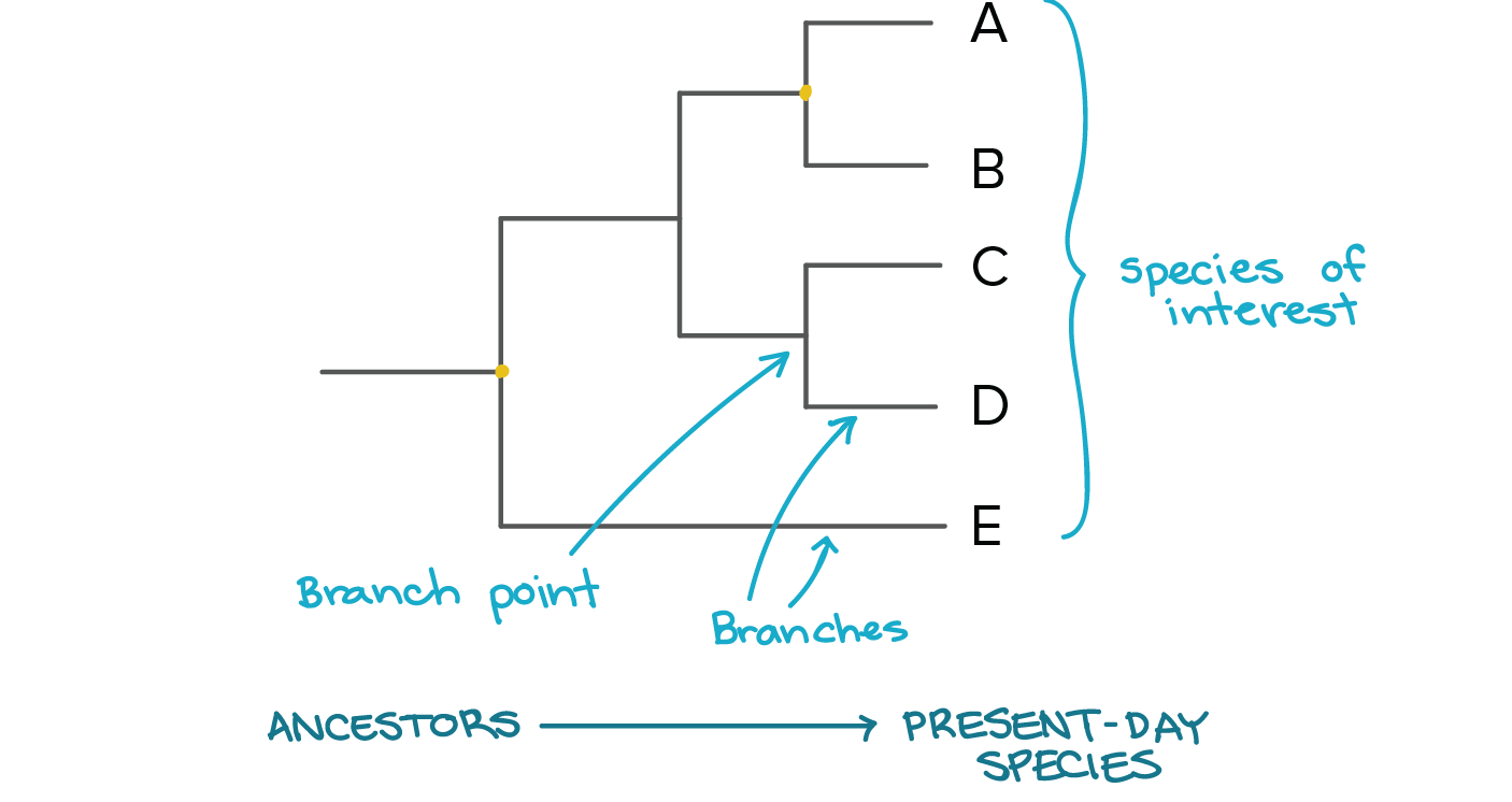Phylogenetic trees evolutionary tree article khan academy image modified from taxonomy and phylogeny figure 2 by robert bear et al cc by 40 ccuart Gallery