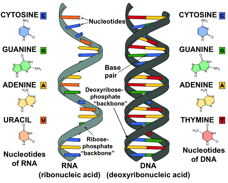 Dna Replication And Rna Transcription And Translation Video Khan