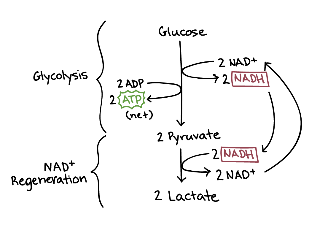 fermentation and anaerobic respiration | cellular respiration