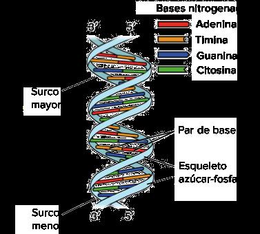 Imagen De Una Doble Helice De Adn Que Ilustra Su Estructura Dextrogira El Surco Mayor Es Un Espacio Mas Amplio Que Sube En Espiral Por Lo Largo De La