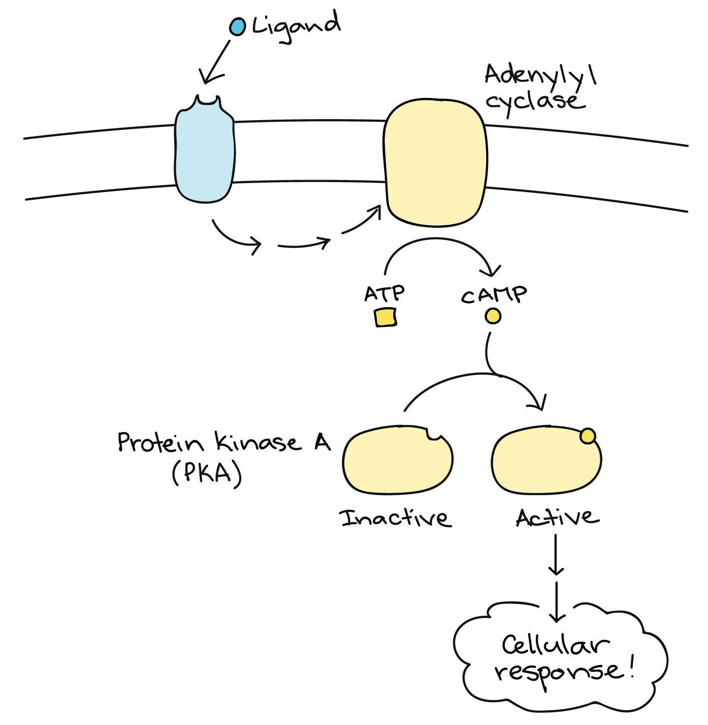 Signal relay pathways cell signaling article khan academy diagram of a pathway that uses camp as a second messenger a ligand binds to a receptor leading indirectly to activation of adenylyl cyclase pooptronica