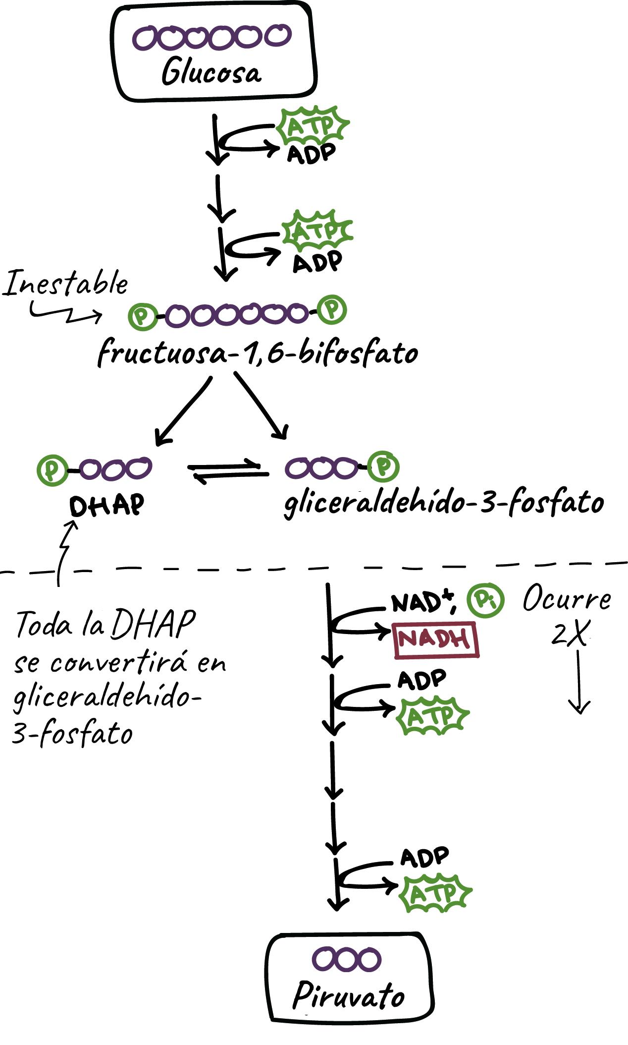 Glycolysis | Cellular respiration | Biology (artículo) | Khan Academy