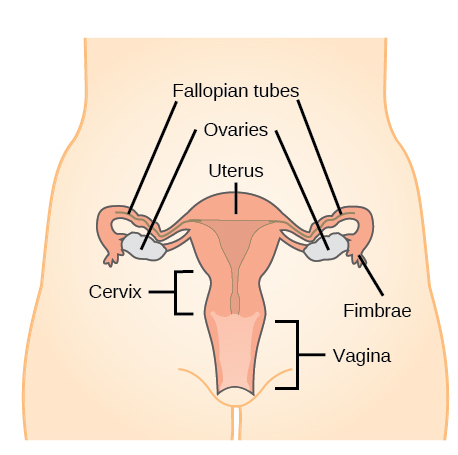 The Reproductive System Review Article Khan Academy