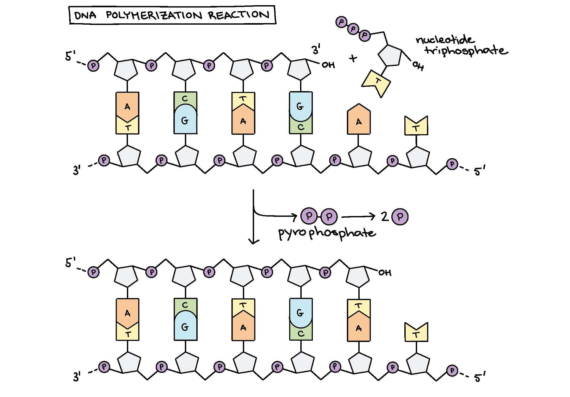 Molecular mechanism of DNA replication article