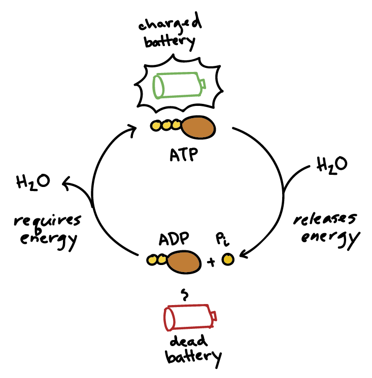 What is meant by atp resynthesis