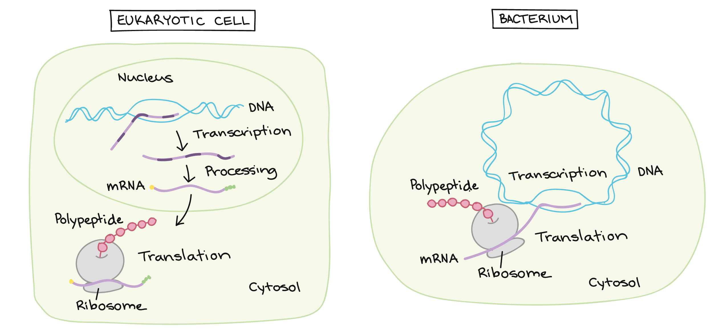 Stages Of Transcription Initiation Elongation Termination Cell Diagram Labeled Similarities Between Prokaryotic And Eukaryotic Article Khan Academy