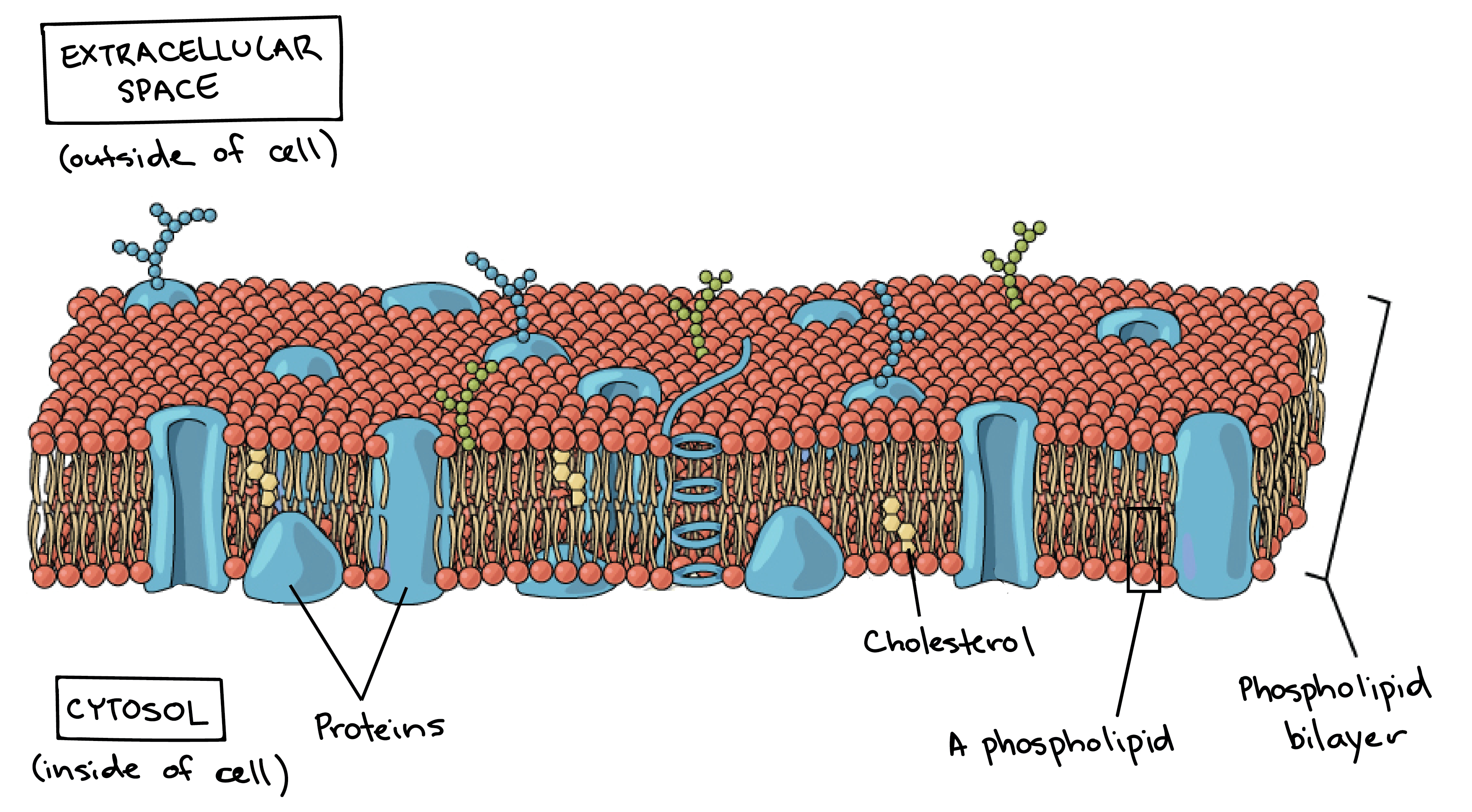 Plasma membrane and cytoplasm article khan academy the plasma membrane ccuart Images