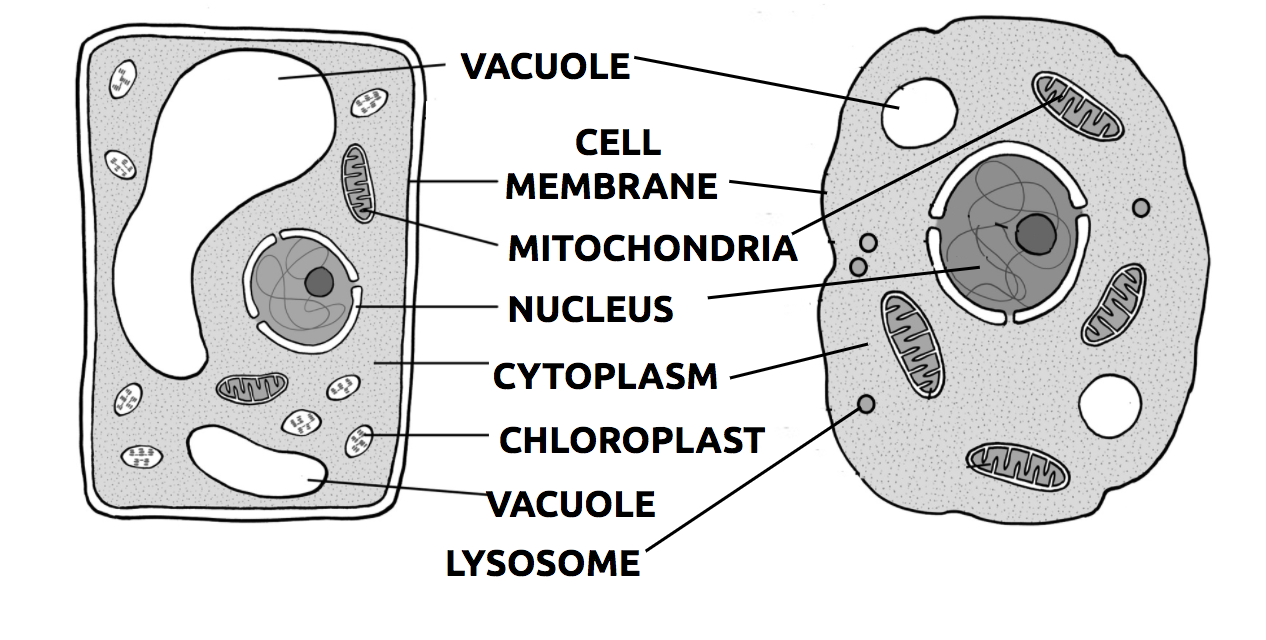 Eukaryotic Cell Structures Review Article Khan Academy Prokaryotic Cells Plant And Animal With Labeled