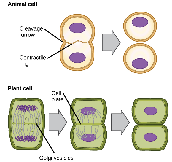 Animal Cell Coloring Page Answers : Phases of mitosis the cell cycle cell division article