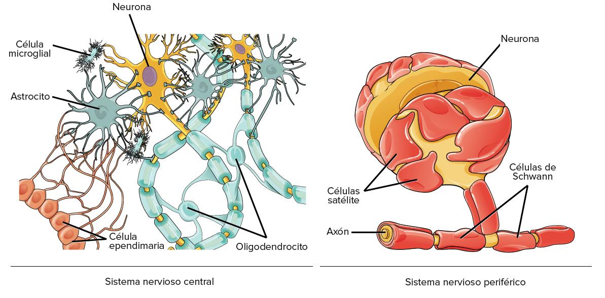 Resultado de imagen de neurona glia