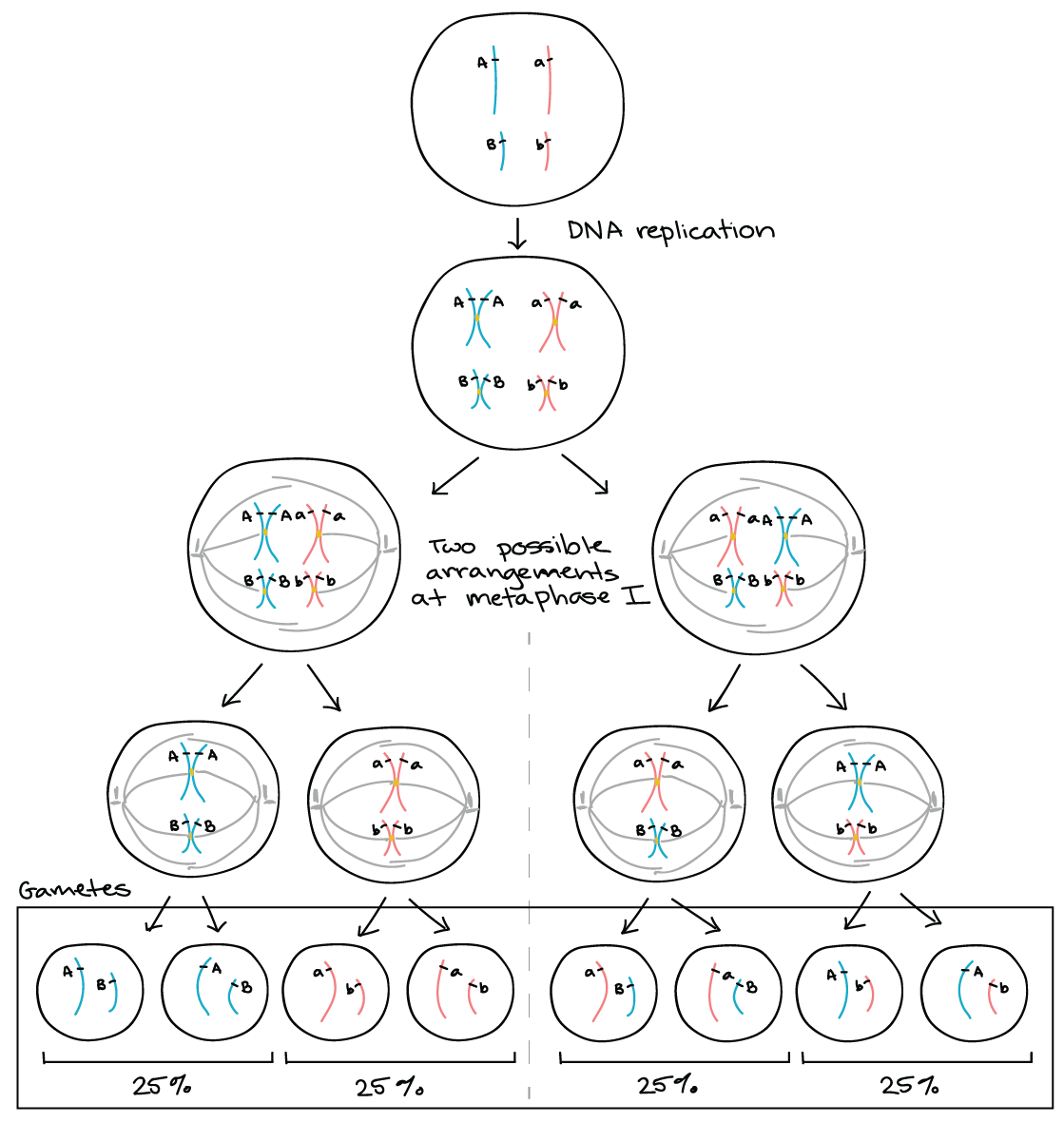 Genetic linkage mapping article khan academy ccuart Image collections
