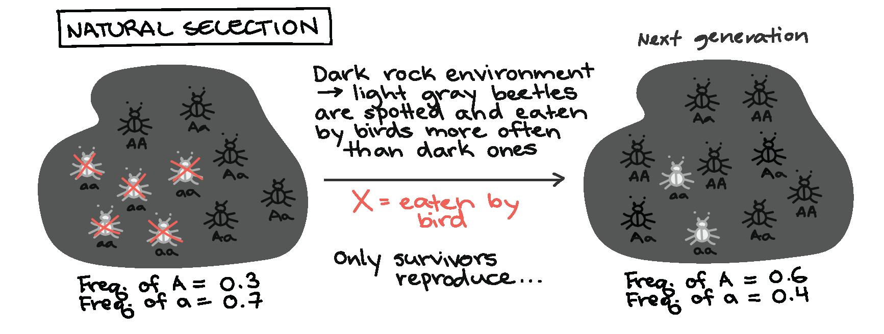 Genetic Drift Article Khan Academy