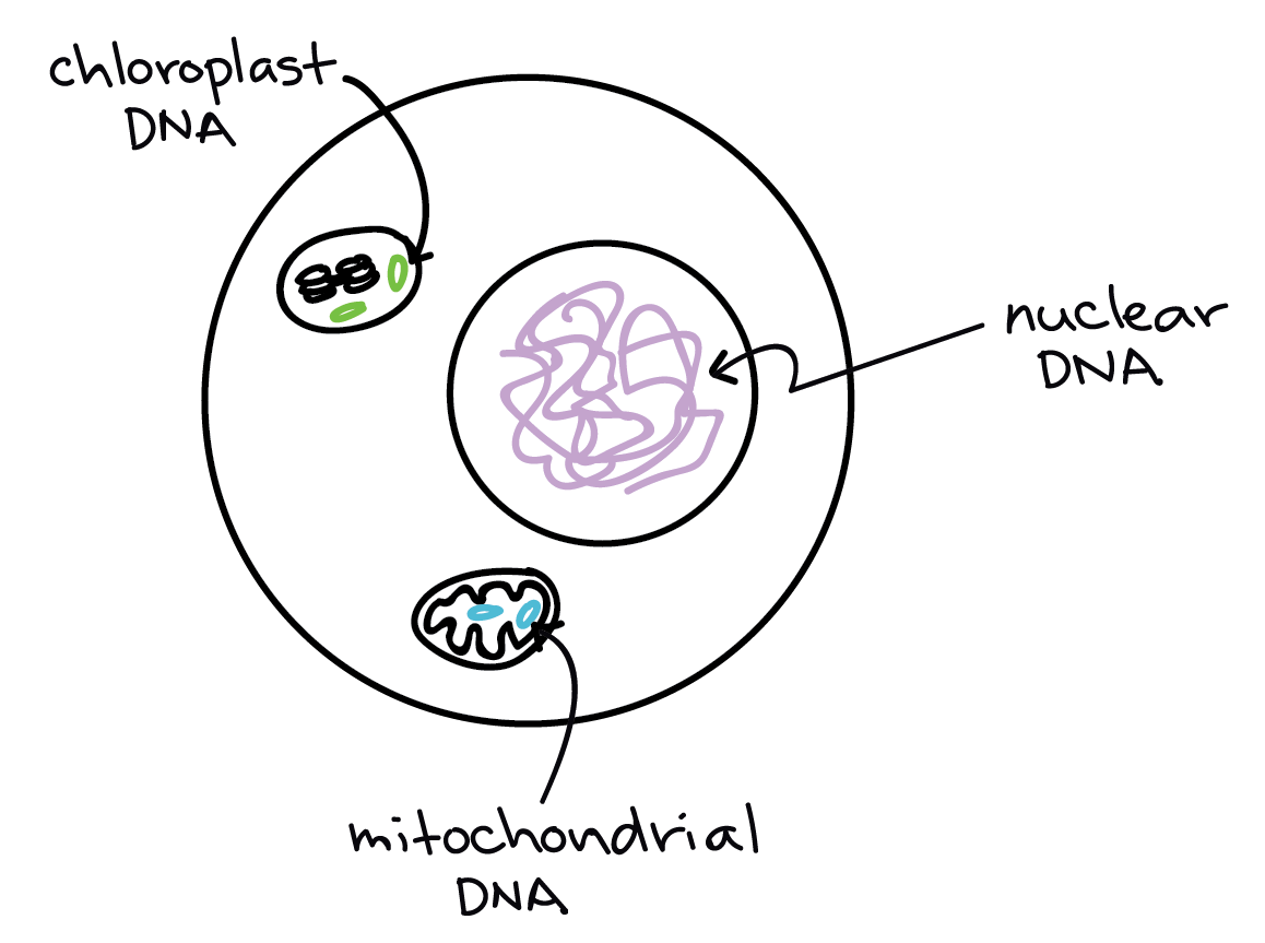 Image of a eukaryotic cell, showing the nuclear DNA (in the nucleus), the  mitochondrial DNA (in the mitochondrial matrix, and the chloroplast DNA (in  the ...