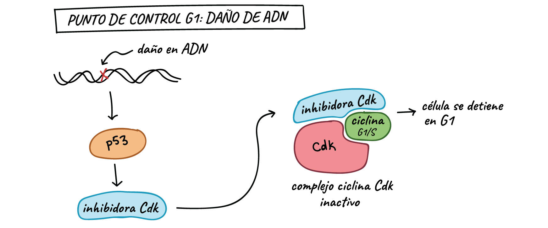 Cancer and the cell cycle | Biology (artículo) | Khan Academy