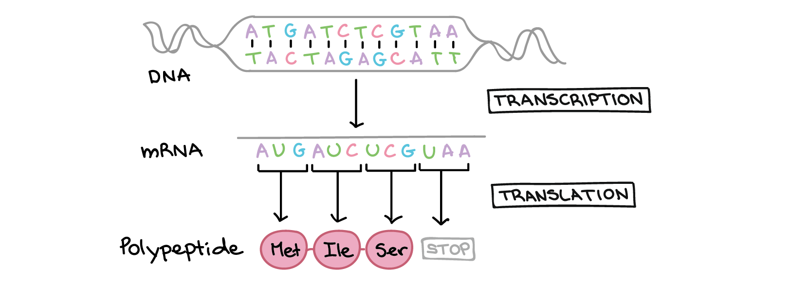 Intro To Gene Expression Central Dogma Article Khan Academy Translated Schematics Here