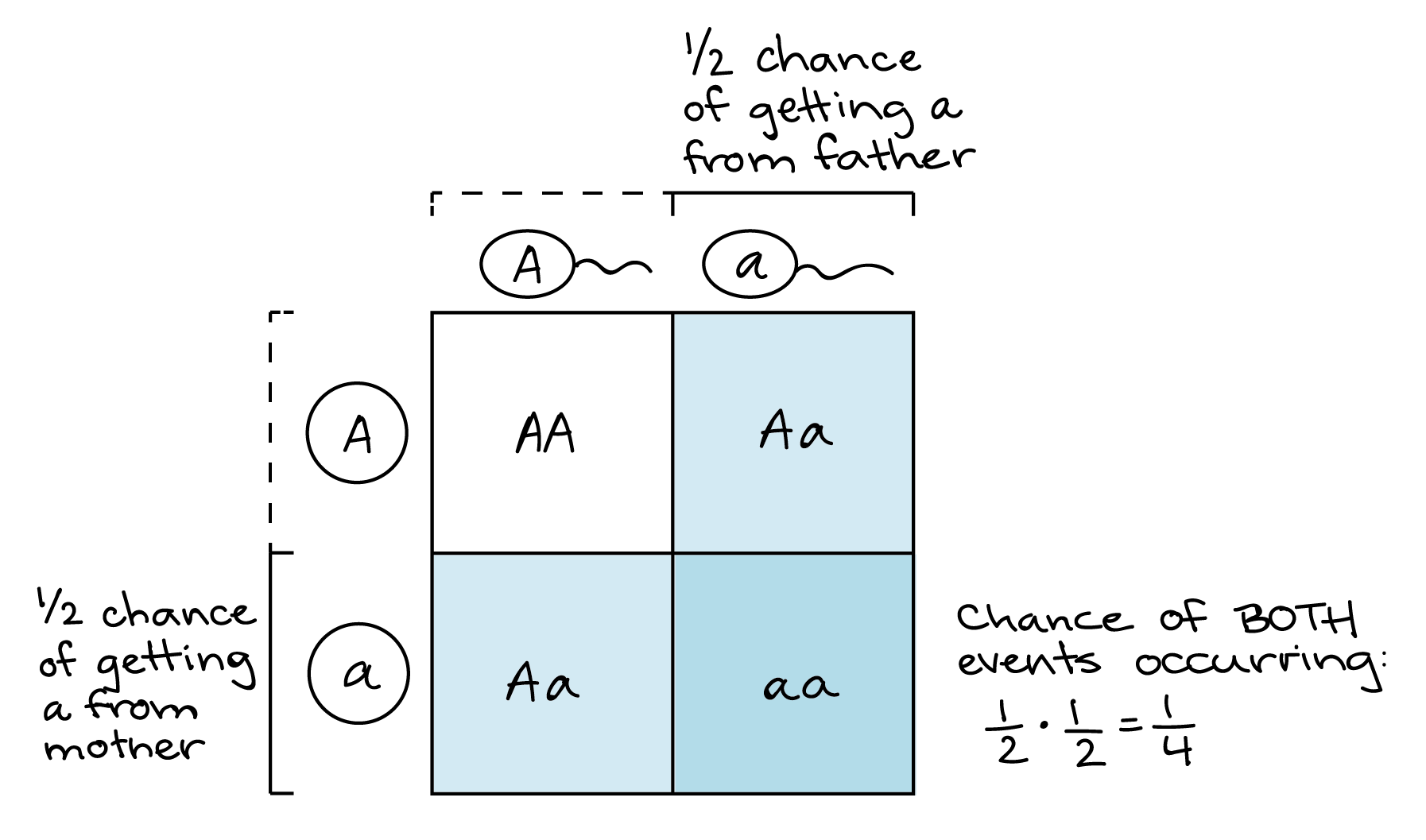 Illustration Of How A Punnett Square Can Represent The Product Rule