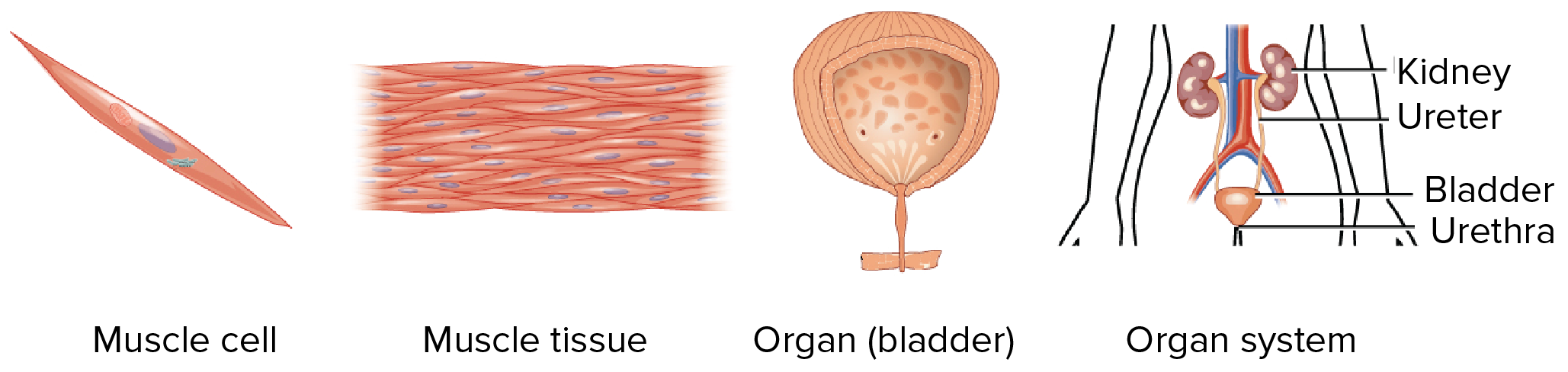 Tissues Organs Organ Systems Article Khan Academy