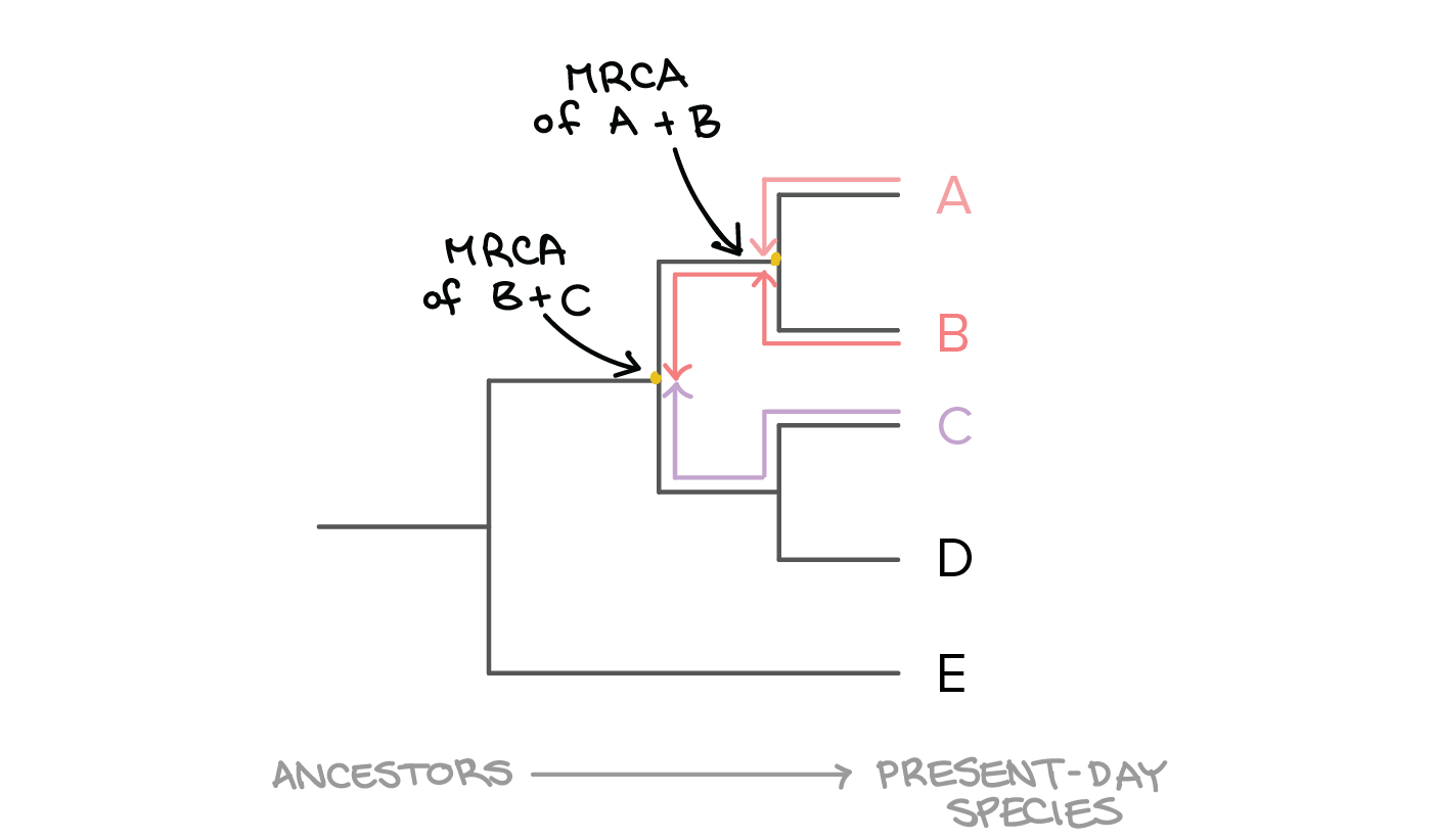 Phylogenetic Trees Evolutionary Tree Article Khan Academy