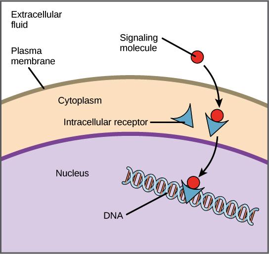Ligands & receptors (article) | Khan Academy