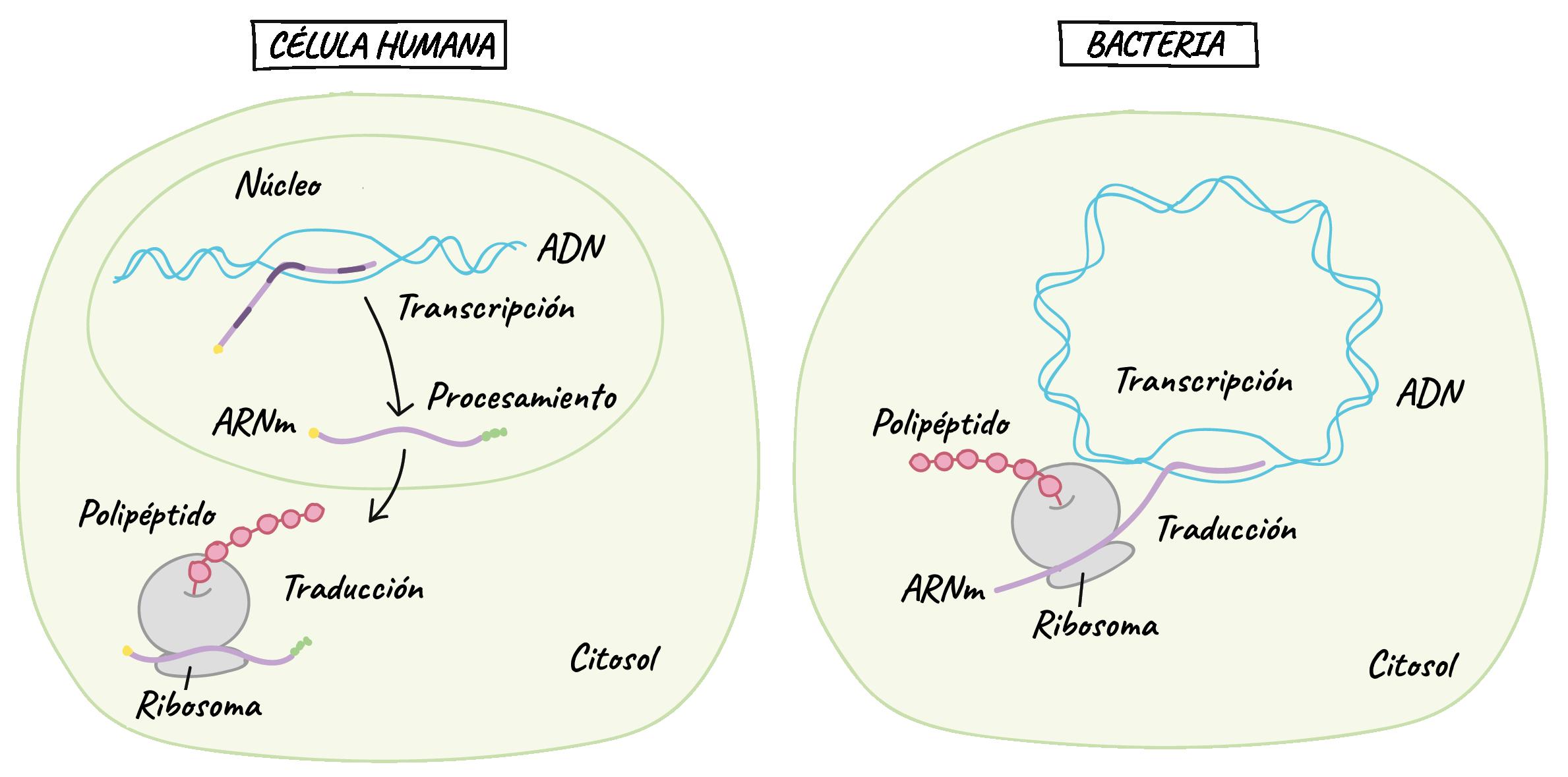 Ácidos nucleicos (artículo)   Khan Academy