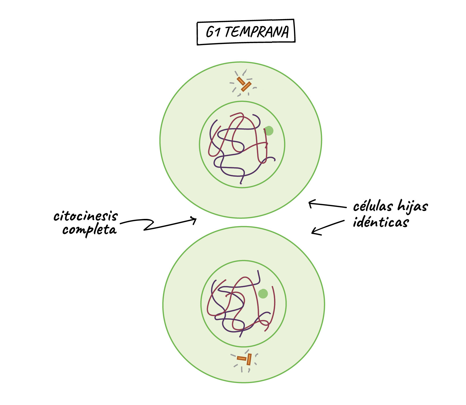 Phases of mitosis  The cell cycle  Cell division artculo