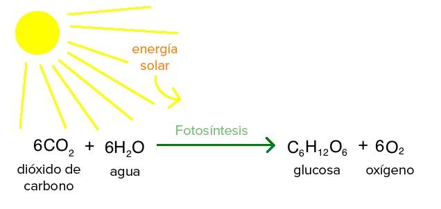 Introducción a la fotosíntesis (artículo) | Khan Academy