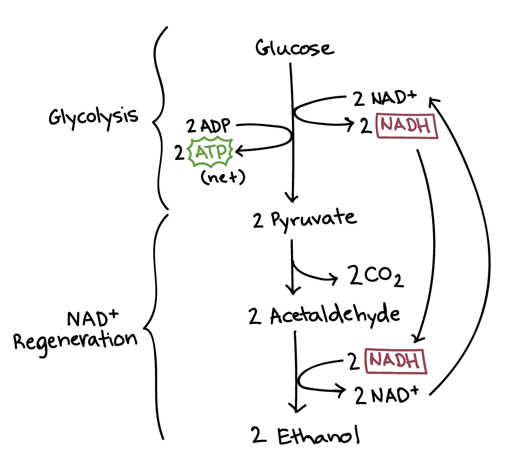 Regulation of cellular respiration article khan academy ccuart Choice Image