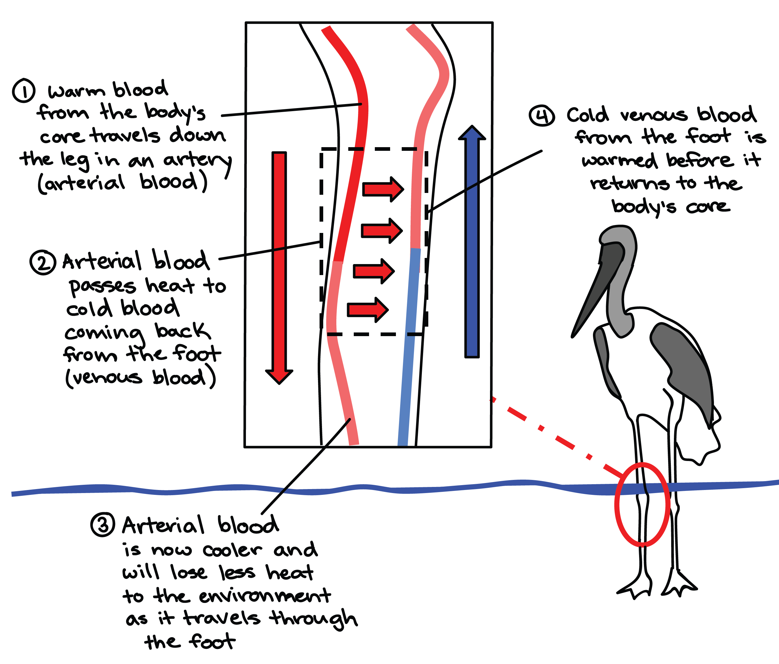 diagram of blood vessel arrangement in the leg of a wading bird