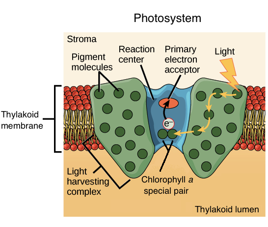 What do mitochondrial and thylakoid membranes have in common?