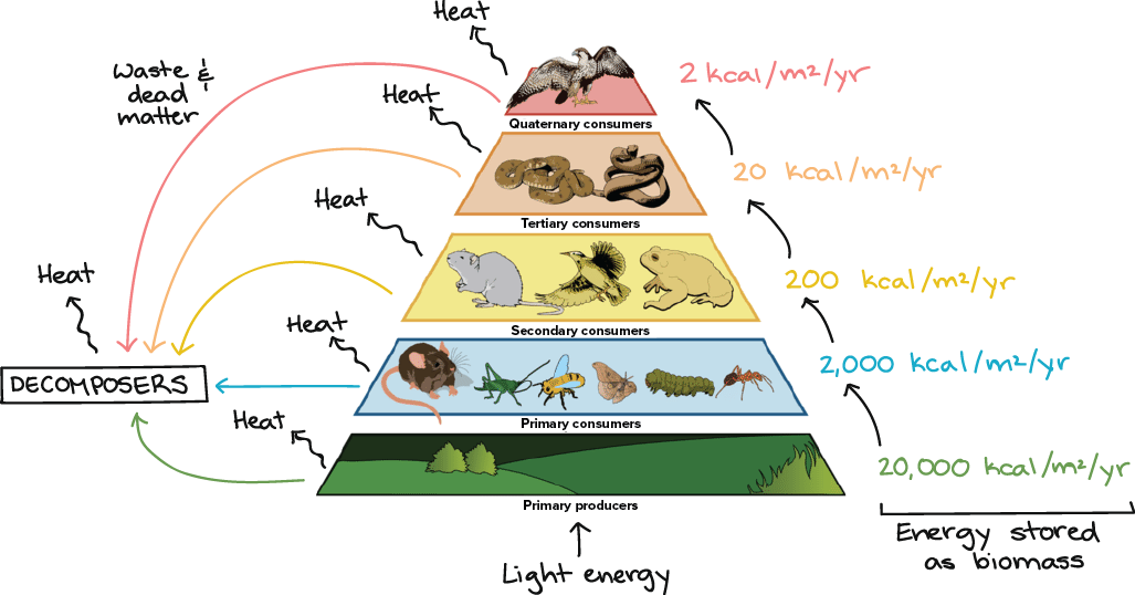 Food chains food webs article ecology khan academy trophic pyramid illustrating the 10 energy transfer rule light energy is captured by primary ibookread
