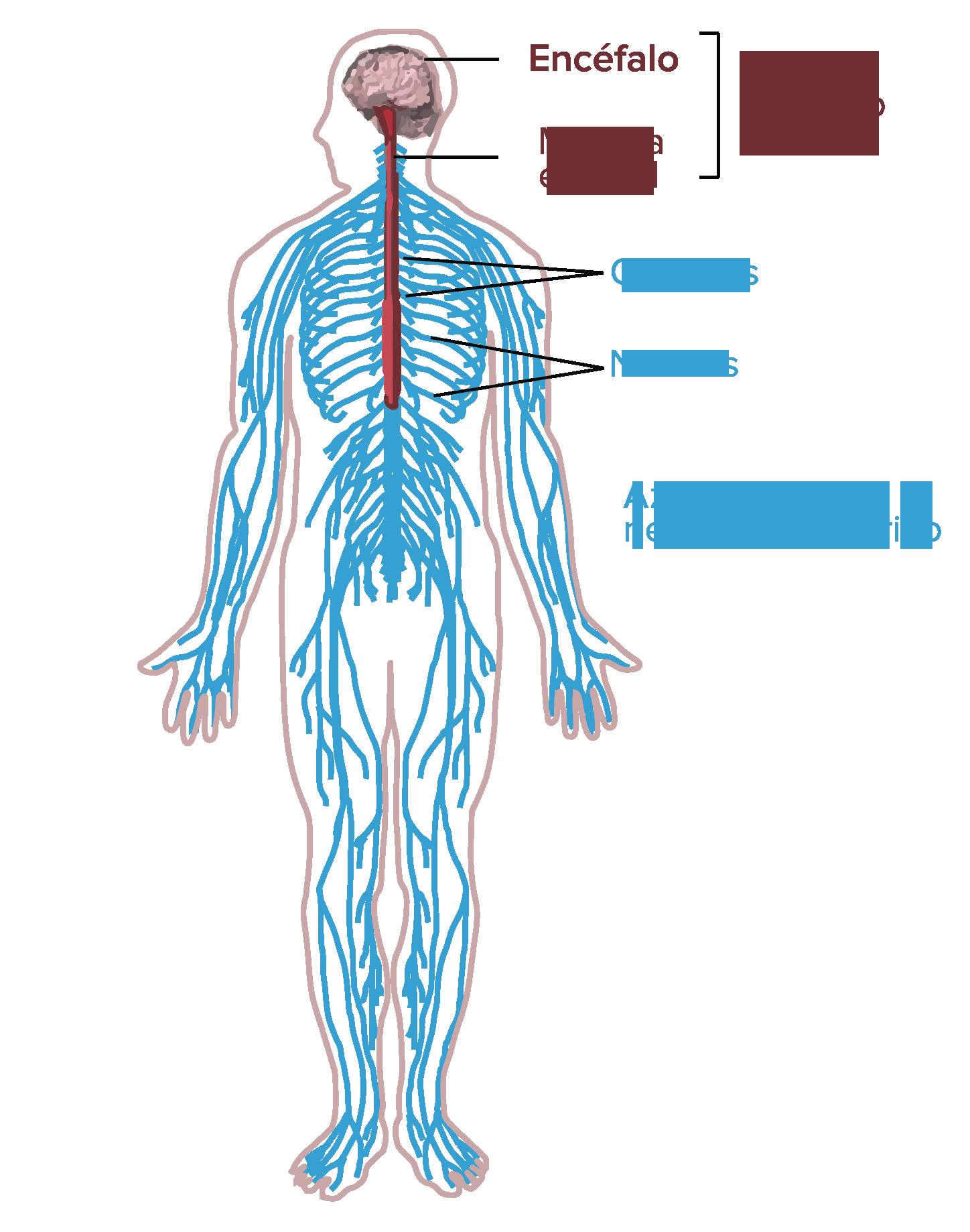Función y estructura de la neurona (artículo) | Khan Academy