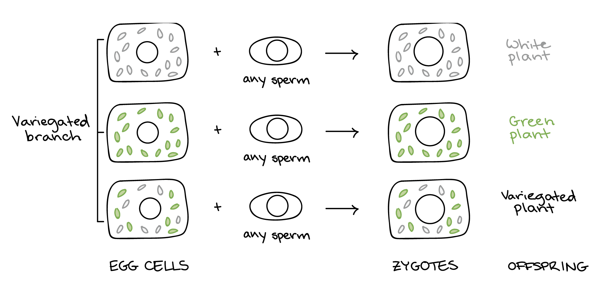 Mitochondrial Inheritance And Chloroplast Dna Article Khan Academy Mitochondria Are Often Called The Power Plant Of Cell Female Branch Egg Cells Zygotes Offspring